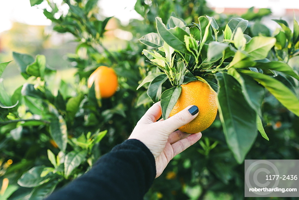 Personal perspective woman picking fresh orange from tree