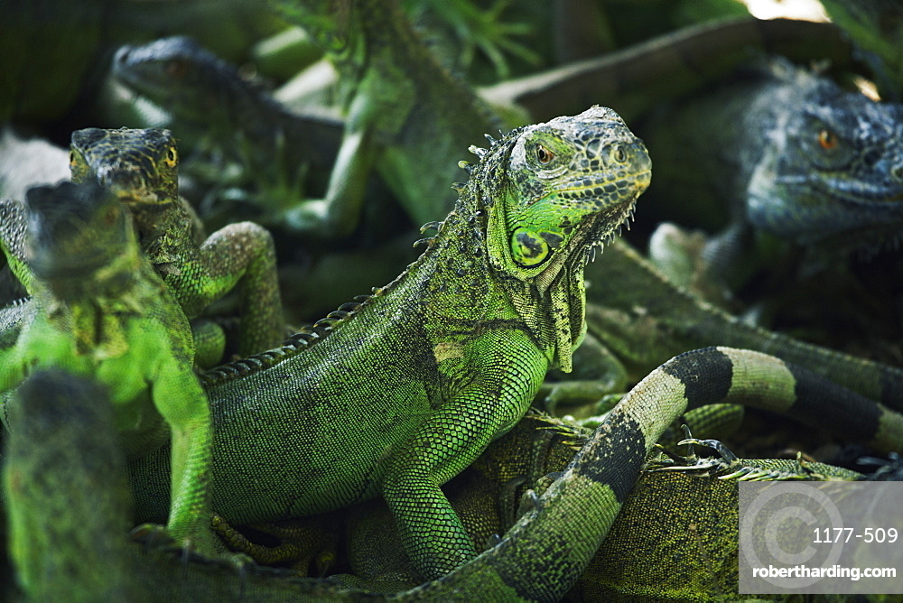 Group of green iguanas outdoors