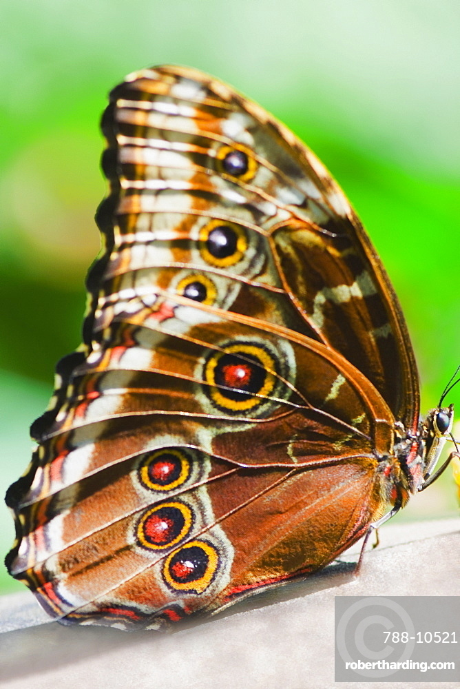 Close-up of a Blue Morpho (Morpho Menelaus) butterfly on a leaf