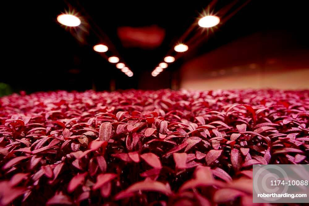 Close up of tightly packed Amaranth Aztec microgreen seedlings growing