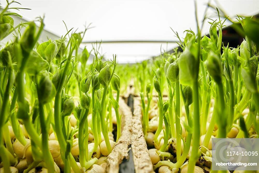 Close up of tightly packed pea seedlings growing in urban farm