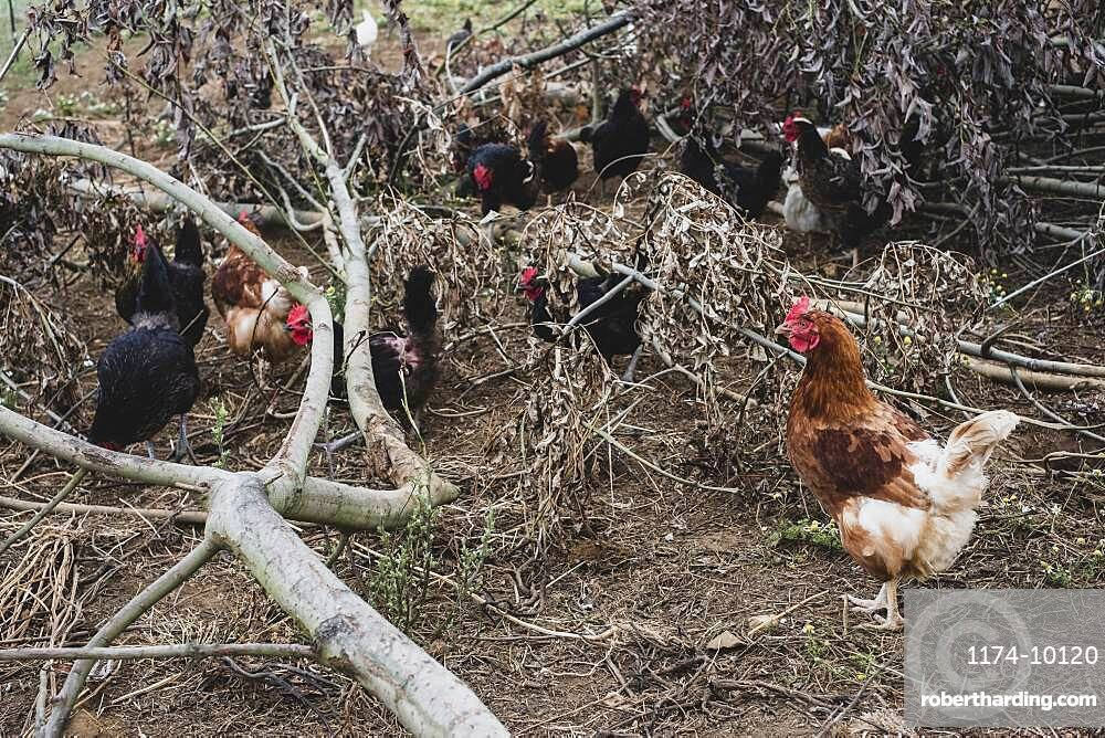 Flock of black and brown chickens pecking among branches of fallen tree.