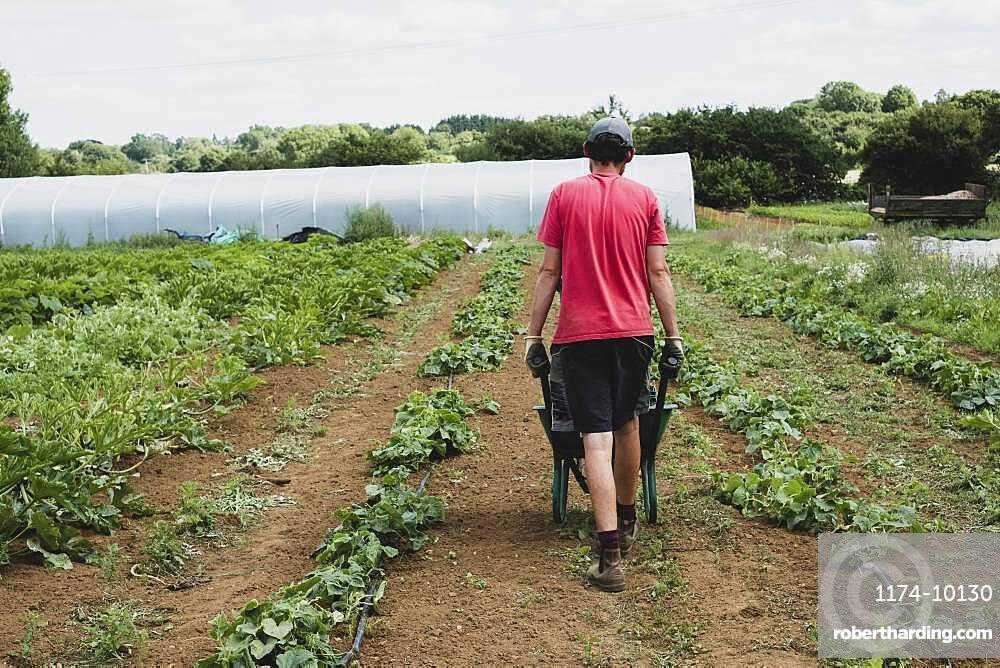 Rear view of farmer walking along field, pushing wheelbarrow.
