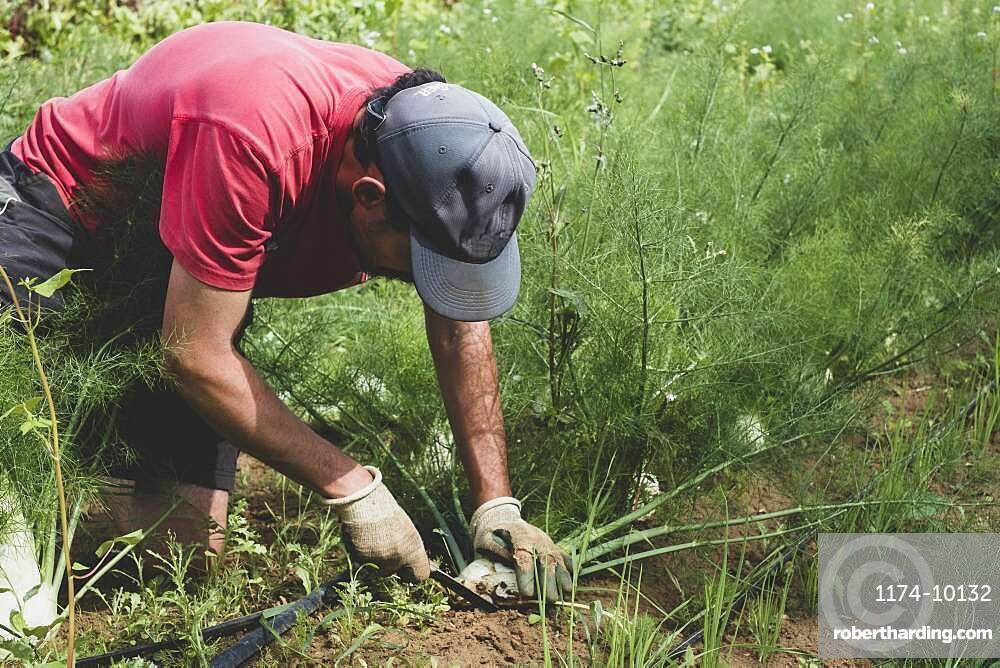 Farmer kneeling in a field, harvesting fennel.