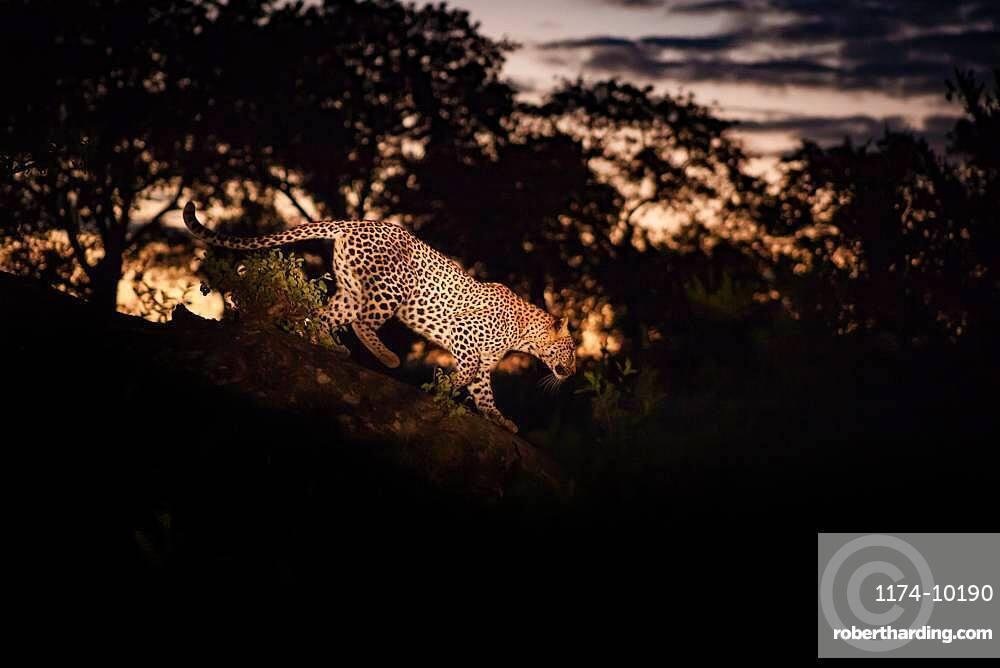A leopard, Panthera pardus, walking along a log at night, lit by spotlight, Sabi Sands, South Africa