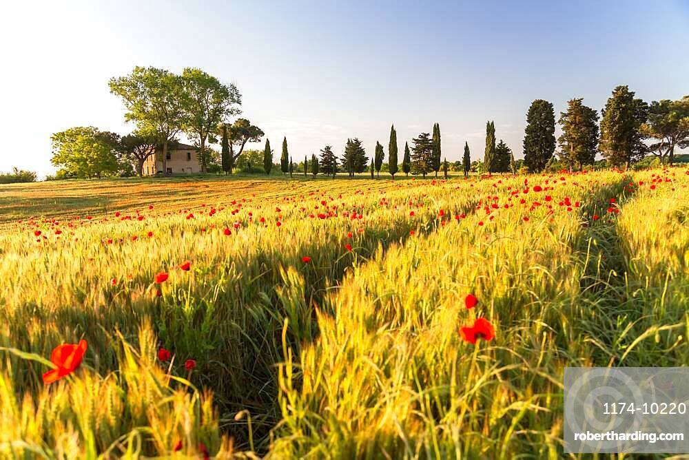 Field of poppies and old abandoned farmhouse, Tuscany, Italy