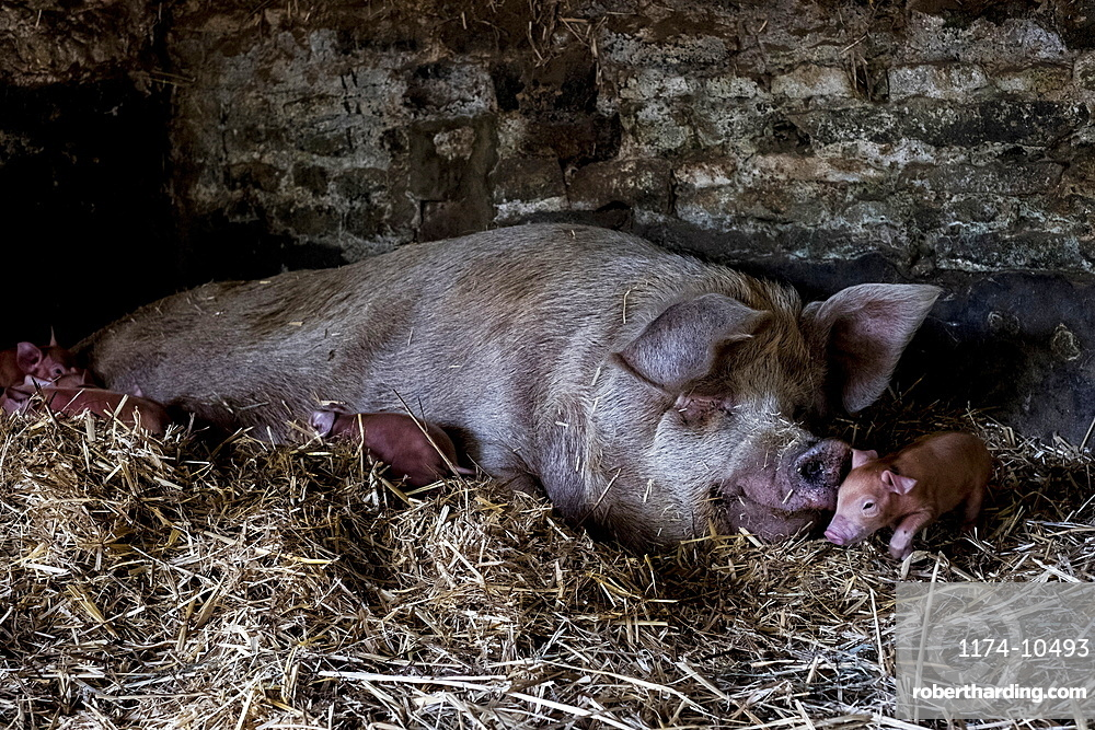 Sow and her piglets lying on straw in a pigsty.