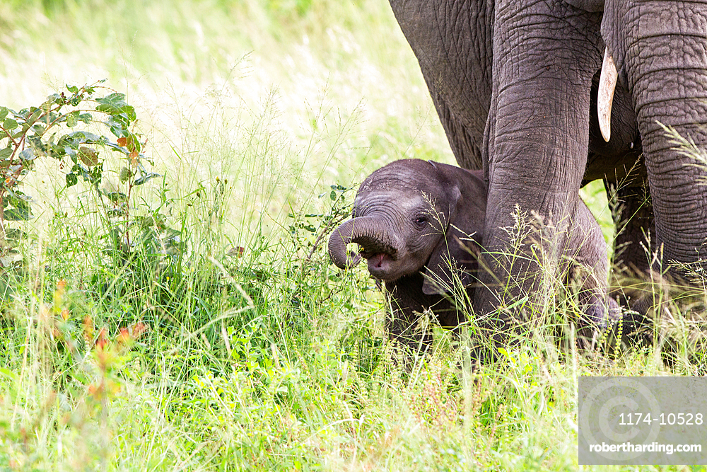 An elephant calf, Loxodonta africana, stands in tall green grass, Londolozi Game Reserve, South Africa
