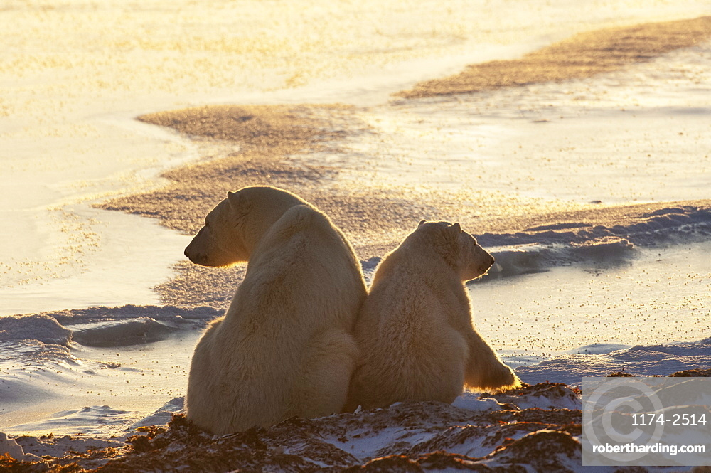 Two polar bears sittin side by side on a snowfield in Manitoba, at sunset, Wapusk National Park, Manitoba, Canada