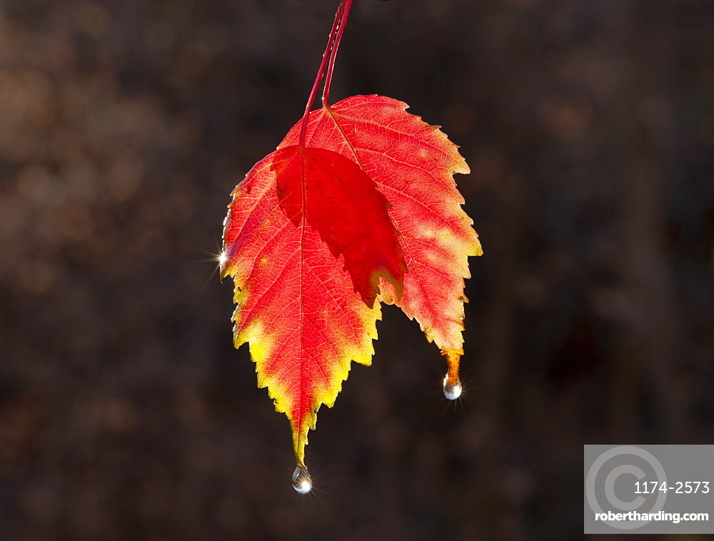 A leaf in autumn suspended in air, sunlit with a lighter edge, Wasatch national forest, Utah, USA