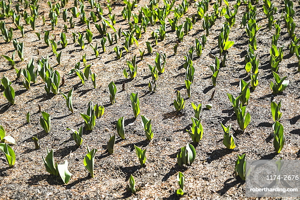 Small green plants emerging from the soil in a field, USA