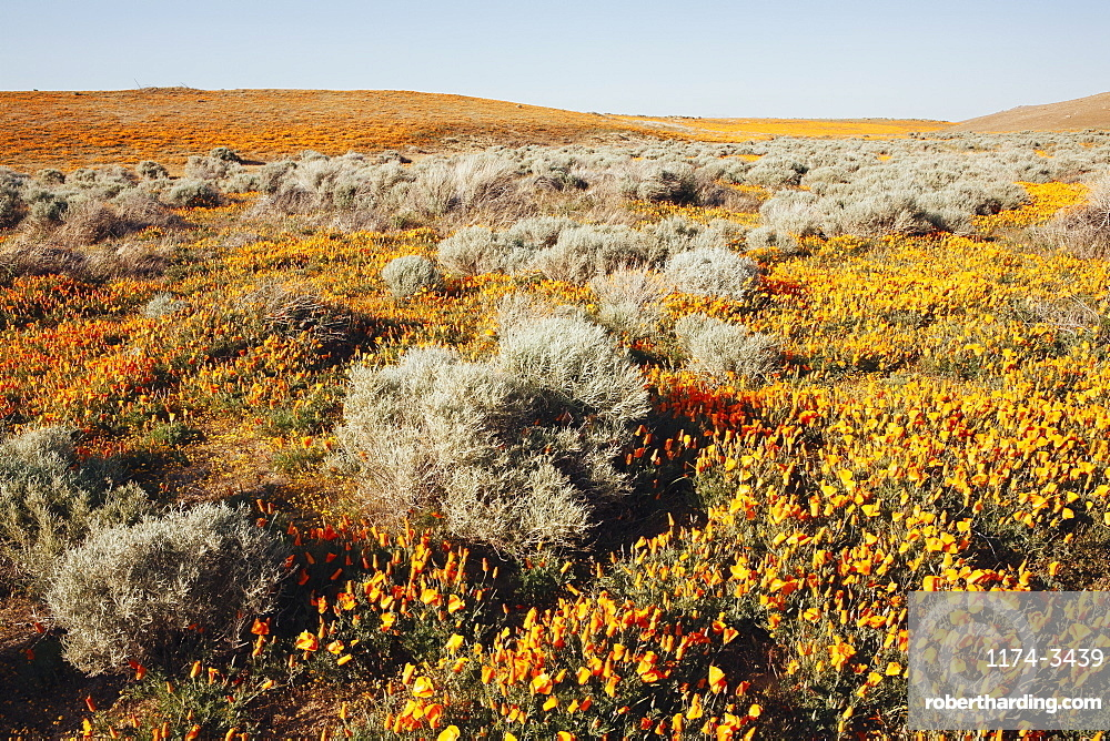 A naturalised crop of the vivid orange flowers, the California poppy, Eschscholzia californica, flowering, in the Antelope Valley California poppy reserve, Papaveraceae, Antelope Valley, California, USA