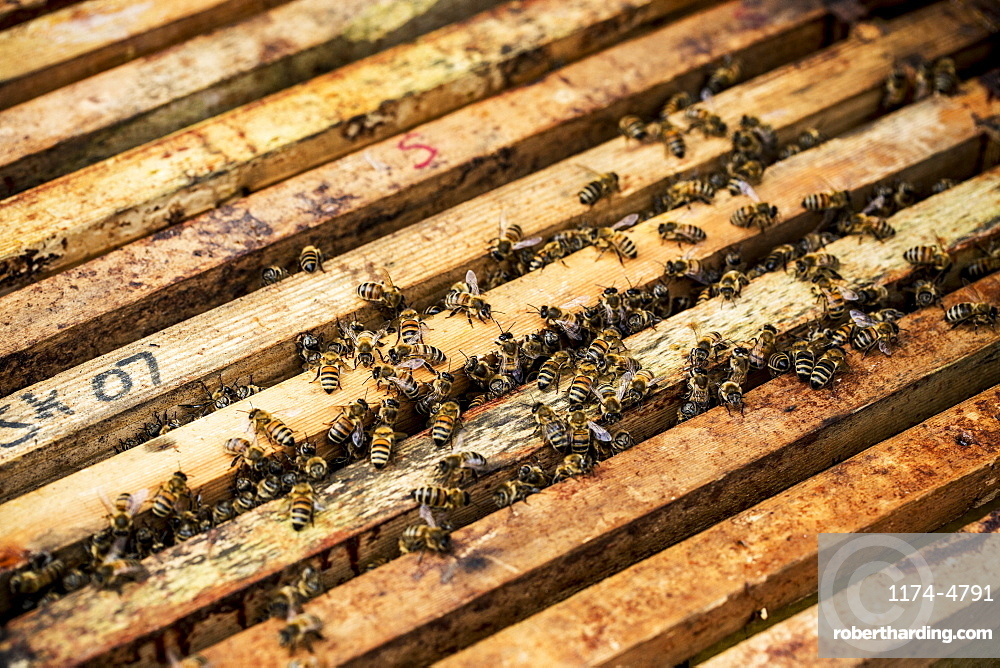 Close up of bees and honeycomb in wooden beehive, England, United Kingdom