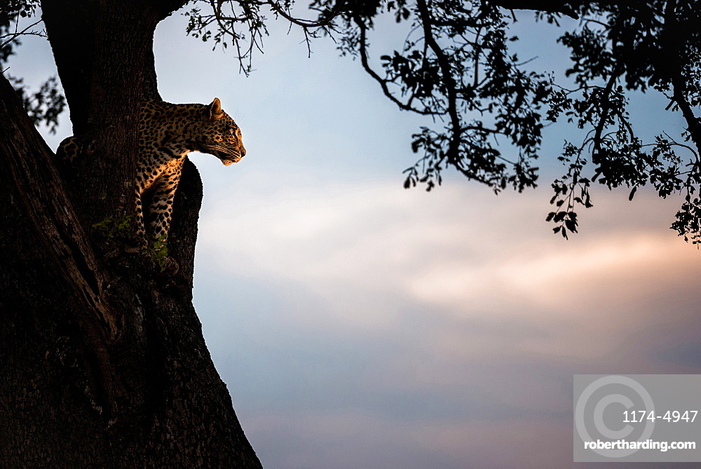A leopard, Panthera pardus, sits in the fork of a tree at sunset, Londolozi Game Reserve, Sabi Sands, Greater Kruger National Park, South Africa