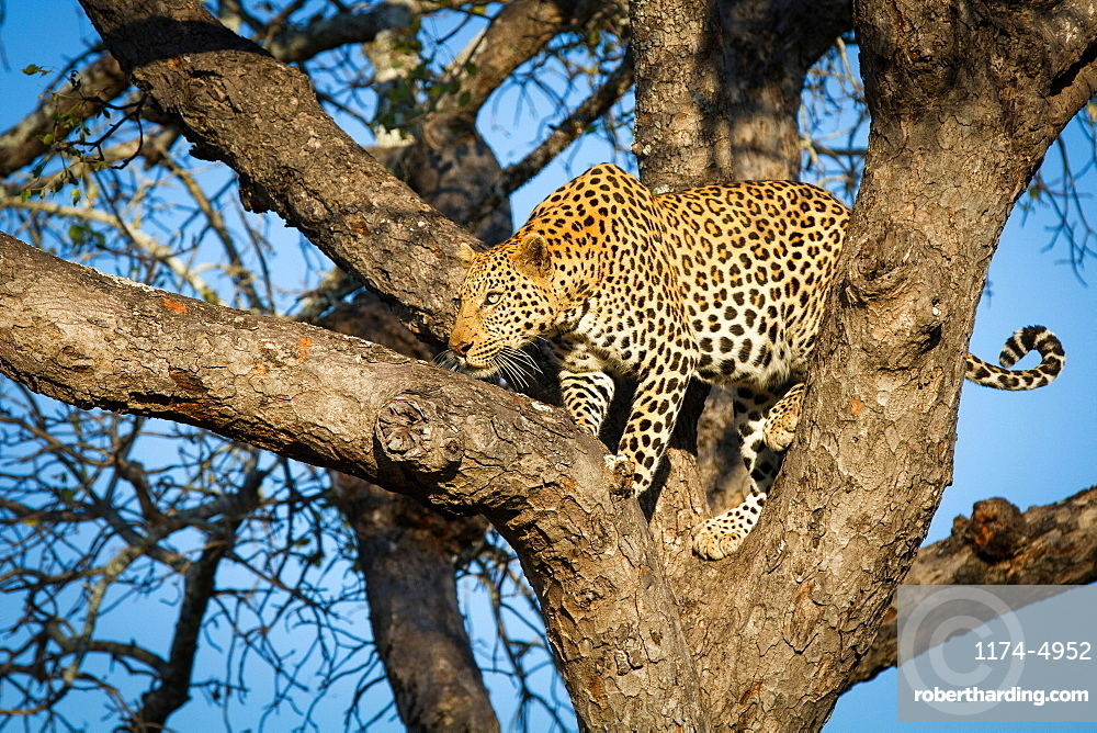 A leopard, Panthera pardus, stands in a tree, looks along a branch, Londolozi Game Reserve, Sabi Sands, Greater Kruger National Park, South Africa