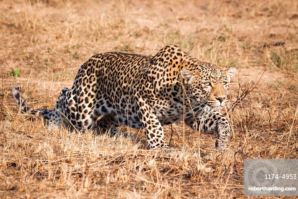 A leopard, Panthera pardus, crouching low, stalks through dry grass, ears back, Londolozi Game Reserve, Sabi Sands, Greater Kruger National Park, South Africa