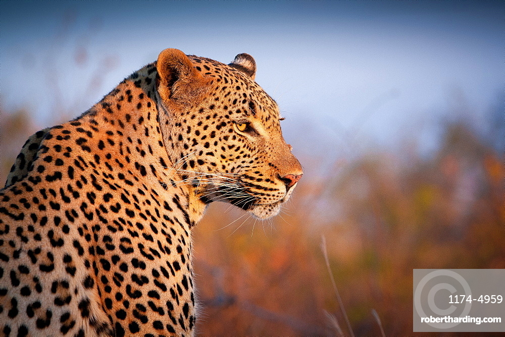 A leopard, Panthera pardus, turns over its right shoulder, looking out, ears back, Londolozi Game Reserve, Sabi Sands, Greater Kruger National Park, South Africa