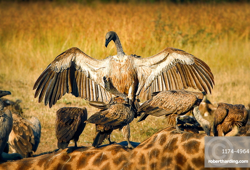 A white-backed vulture, Gyps africanus, opens up its wings and lands on another vulture, which stands on a giraffe carcass, Giraffa camelopardalis, Londolozi Game Reserve, Sabi Sands, Greater Kruger National Park, South Africa