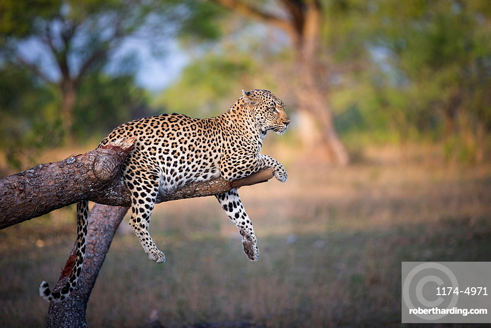 A leopard, Panthera pardus, lies on a broken tree branch, drapes its feet and tail over the branch, looking away, ears back, Londolozi Game Reserve, Sabi Sands, Greater Kruger National Park, South Africa