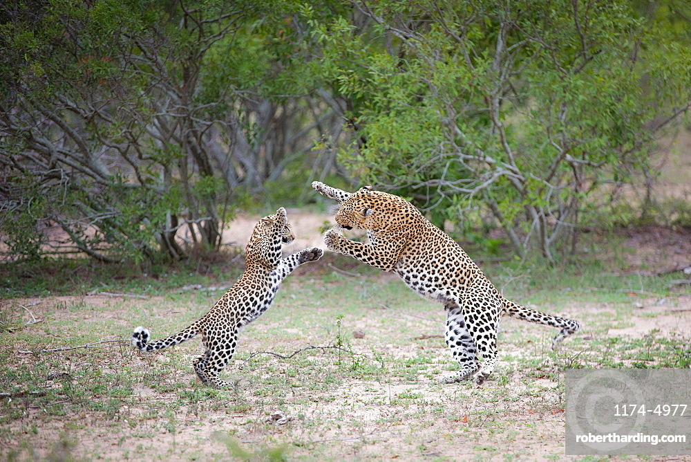 A leopard mother, Panthera pardus, and her cub, stand on their hind legs as they play fight, trees in the background, Londolozi Game Reserve, Sabi Sands, Greater Kruger National Park, South Africa