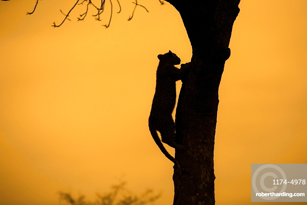 Silhouette of a leopard, Panthera Pardus, climbing up a tree, Londolozi Game Reserve, Sabi Sands, Greater Kruger National Park, South Africa