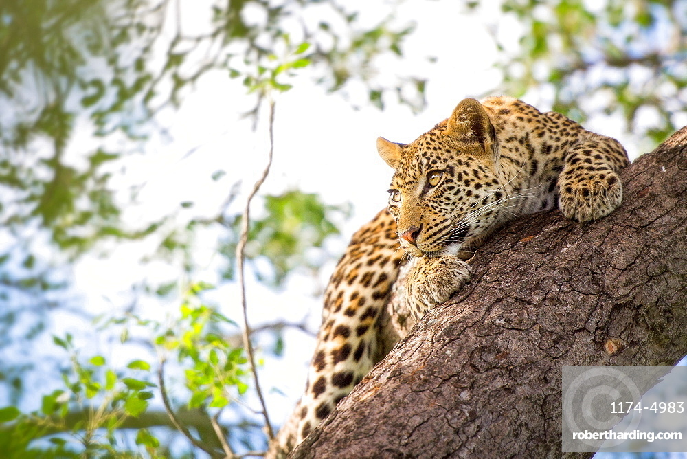 A leopard cub, Panthera pardus, clings onto a vertical marula tree trunk, Sclerocarya birrea, with its claws as it looks away, Londolozi Game Reserve, Sabi Sands, Greater Kruger National Park, South Africa