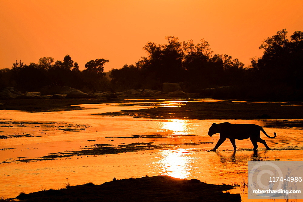 A silhouette of a lioness, Panthera leo, walking across shallow river with reflections of the sunset and silhouetted trees in the background, Londolozi Game Reserve, Sabi Sands, Greater Kruger National Park, South Africa