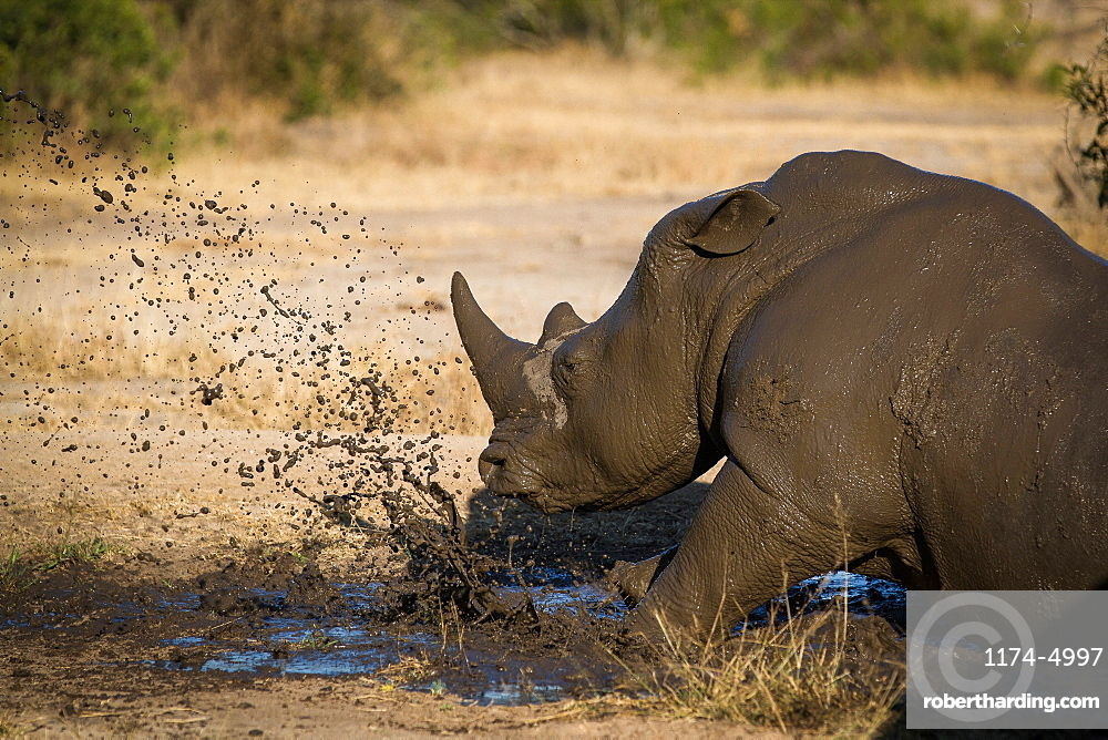 A rhino, Ceratotherium simum, lies down in mud and splashes it, looking away, Londolozi Game Reserve, Sabi Sands, Greater Kruger National Park, South Africa
