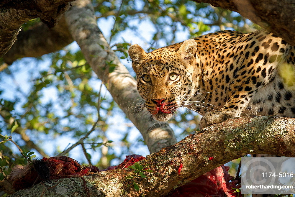 A leopard, Panthera pardus, stands in a tree over a carcass, alert, blood on nose and snout, ears up, Londolozi Game Reserve, Sabi Sands, Greater Kruger National Park, South Africa