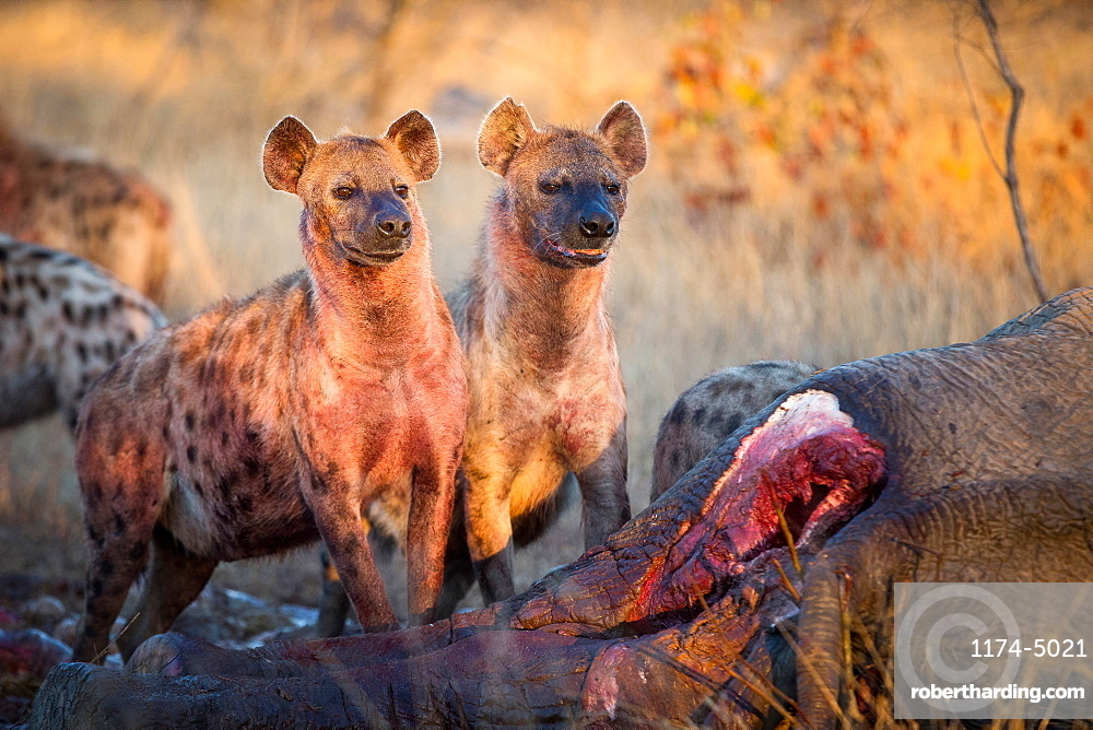 Two spotted hyenas, Crocuta crocuta, stand together at an elephant carcass, Loxodonta africana, blood on chest, looking away, Londolozi Game Reserve, Sabi Sands, Greater Kruger National Park, South Africa
