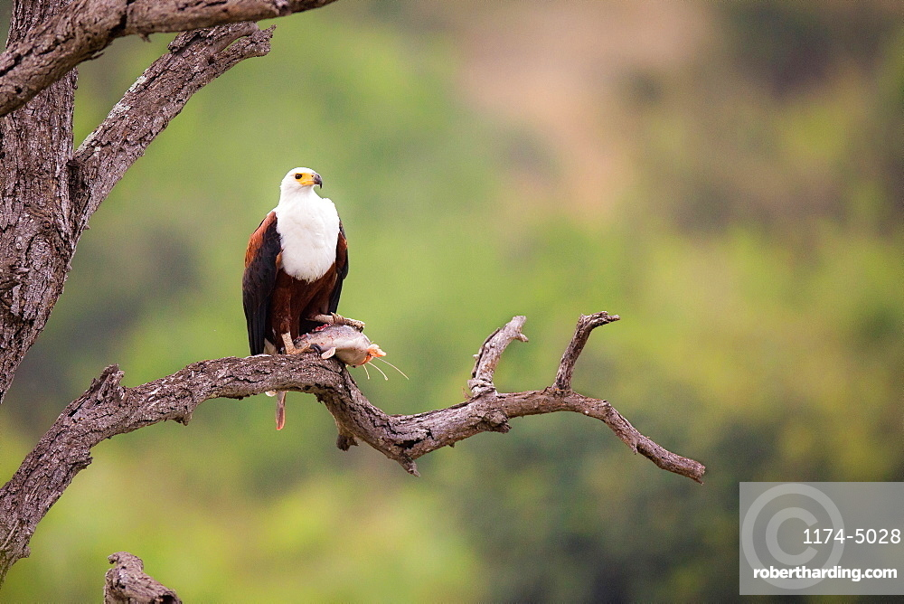 An African fish eagle, Haliaeetus Vocifer, stands on a bare tree branch, fish under its foot, looking away, greenery in background, Londolozi Game Reserve, Sabi Sands, Greater Kruger National Park, South Africa