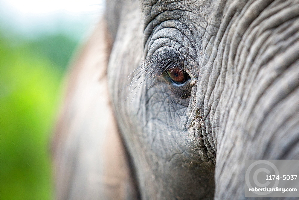 An elephant's eye, Loxodonta africana, long eyelashes, creased skin, Londolozi Game Reserve, Sabi Sands, Greater Kruger National Park, South Africa