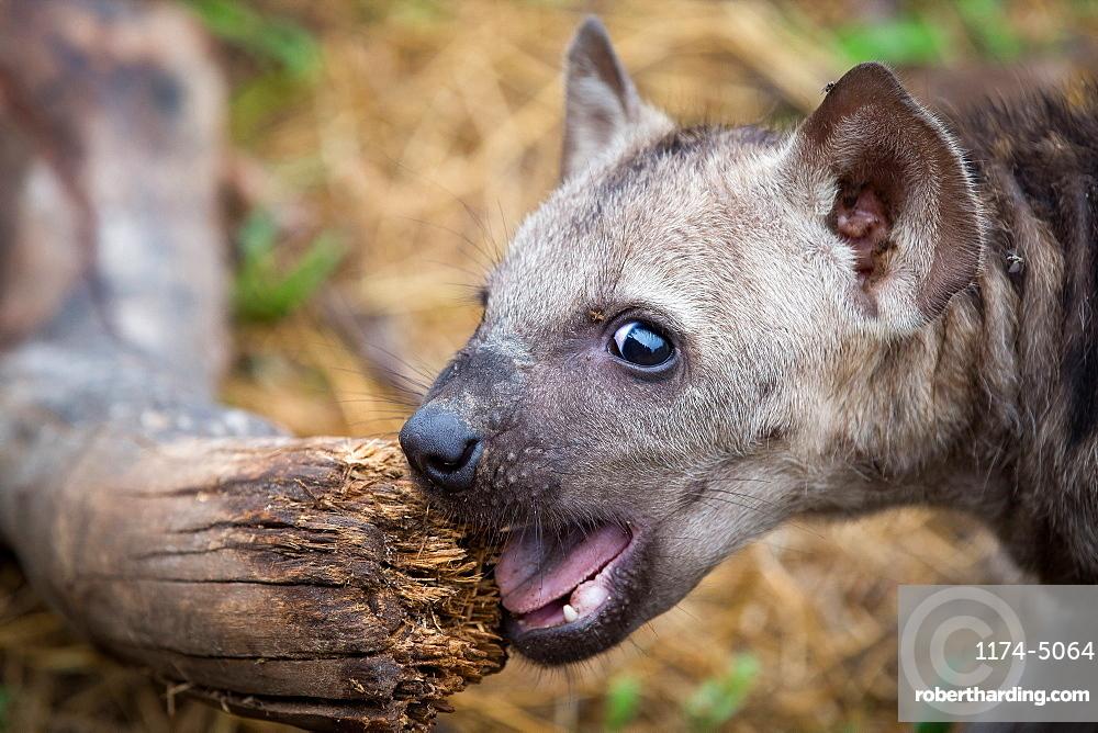 A spotted hyena cub, Crocuta crocuta, alert, chews a log, mouth open, Londolozi Game Reserve, Sabi Sands, Greater Kruger National Park, South Africa