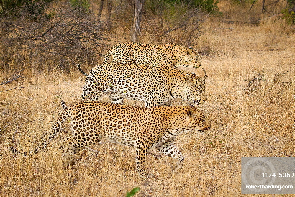 Three leopards, Panthera pardus, walk simultaneously together, in parallel, looking away, brown yellow grass, Londolozi Game Reserve, Sabi Sands, Greater Kruger National Park, South Africa
