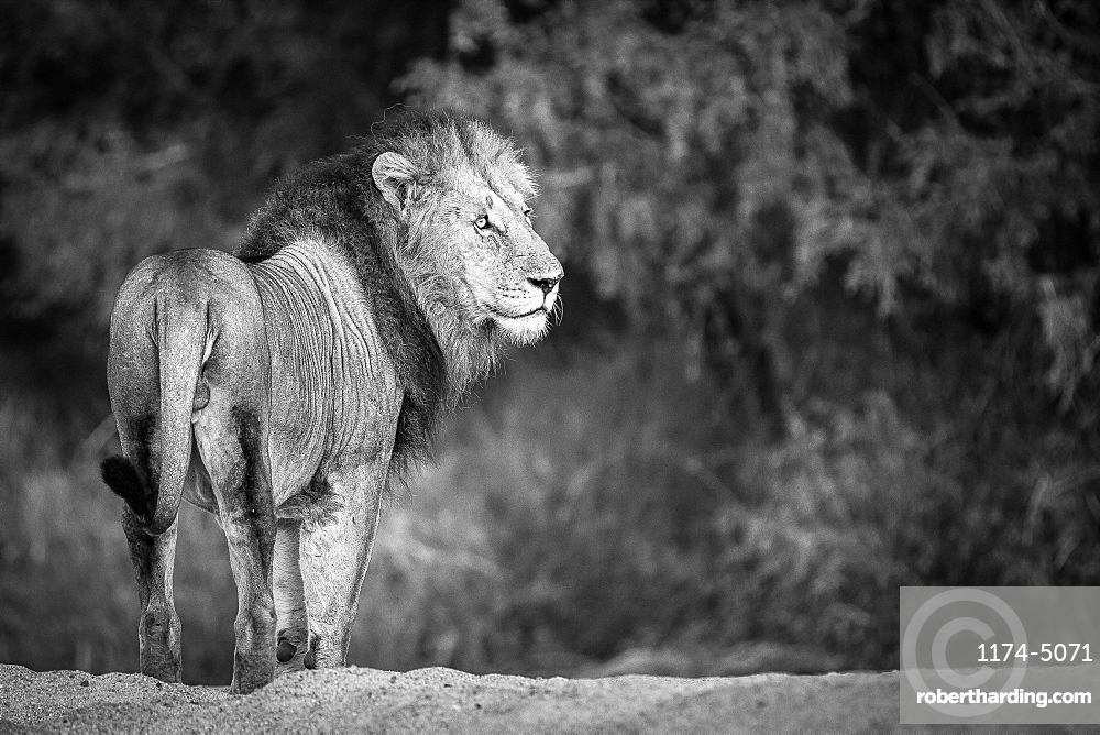 A male lion, Panthera leo, stands with back to camera, looking away, in black and white, Londolozi Game Reserve, Sabi Sands, Greater Kruger National Park, South Africa