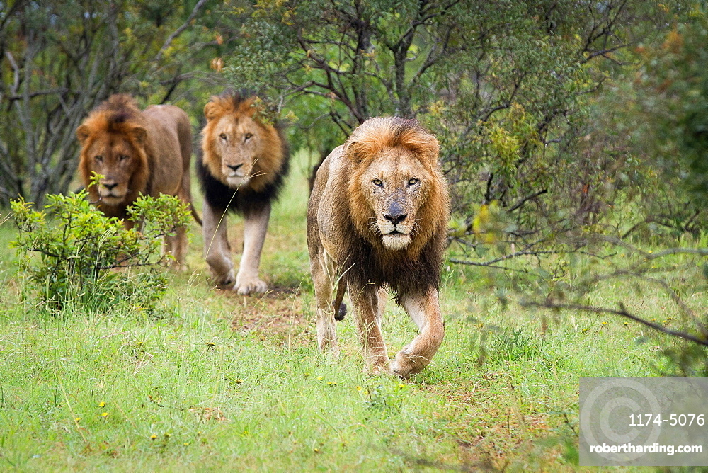 Three male lions, Panthera Leo, walk together in green grass, direct gaze, Londolozi Game Reserve, Sabi Sands, Greater Kruger National Park, South Africa
