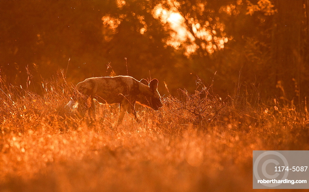 An African wild dog, Lycaon pictus, backlit, walks away from camera through grass, ears back, Londolozi Game Reserve, Sabi Sands, Greater Kruger National Park, South Africa