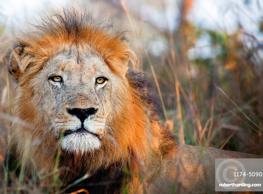 The head of a male lion, Panthera leo, alert, lying down, Londolozi Game Reserve, Sabi Sands, Greater Kruger National Park, South Africa
