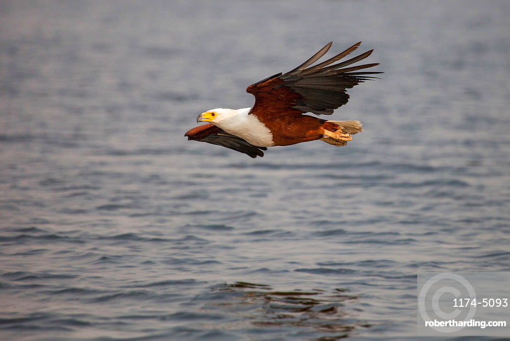 An African fish eagle, Haliaeetus Vocifer, flies over water, legs tucked against body, flying out of frame, Londolozi Game Reserve, Sabi Sands, Greater Kruger National Park, South Africa