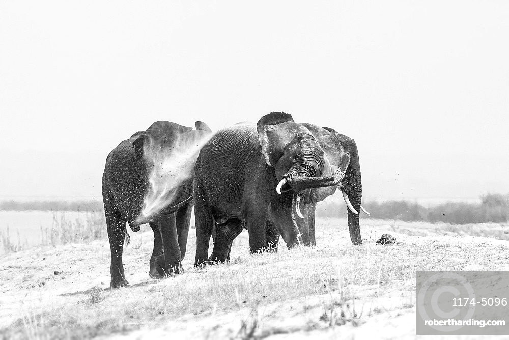 Three elephant, Loxodonta africana, stand on a sand bank, wet skin, spray sand with their trunk into the air, in black and white, Londolozi Game Reserve, Sabi Sands, Greater Kruger National Park, South Africa