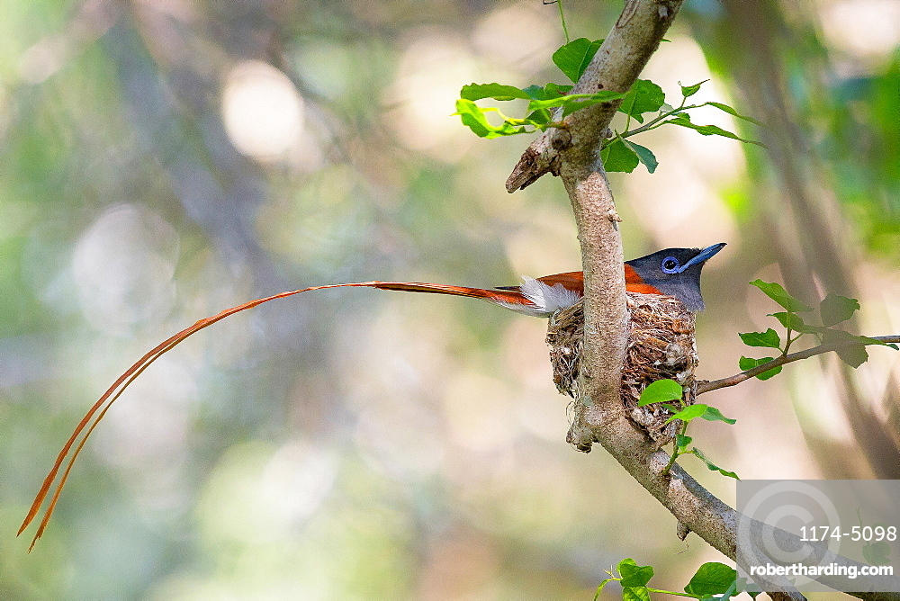 A African paradise flycatcher, Terpsiphone viridis, sits in a nest in a tree, its long tail hangs out of the nest, Londolozi Game Reserve, Sabi Sands, Greater Kruger National Park, South Africa