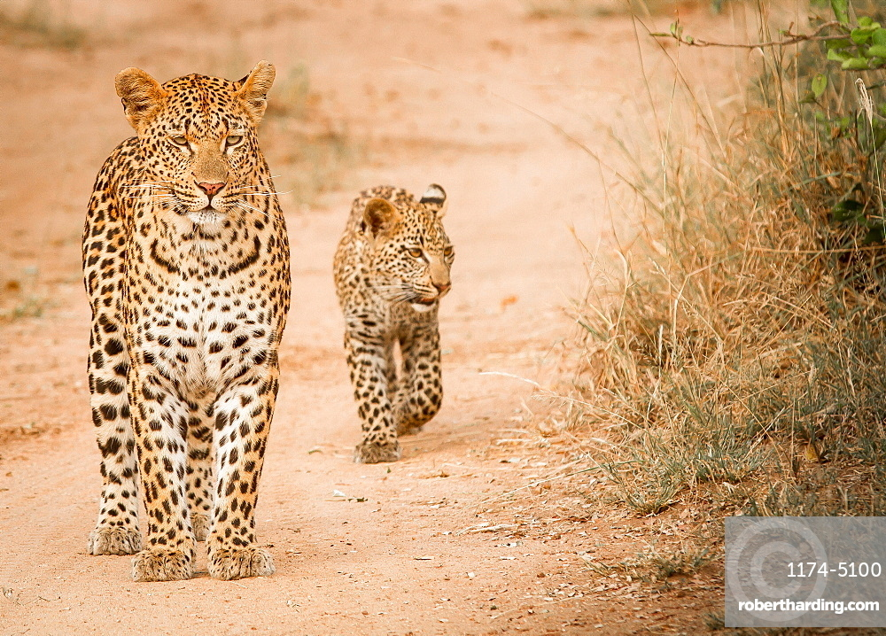 A mother leopard, Panthera pardus, stands on sand ground, cub follows behind her, looking away, Londolozi Game Reserve, Sabi Sands, Greater Kruger National Park, South Africa