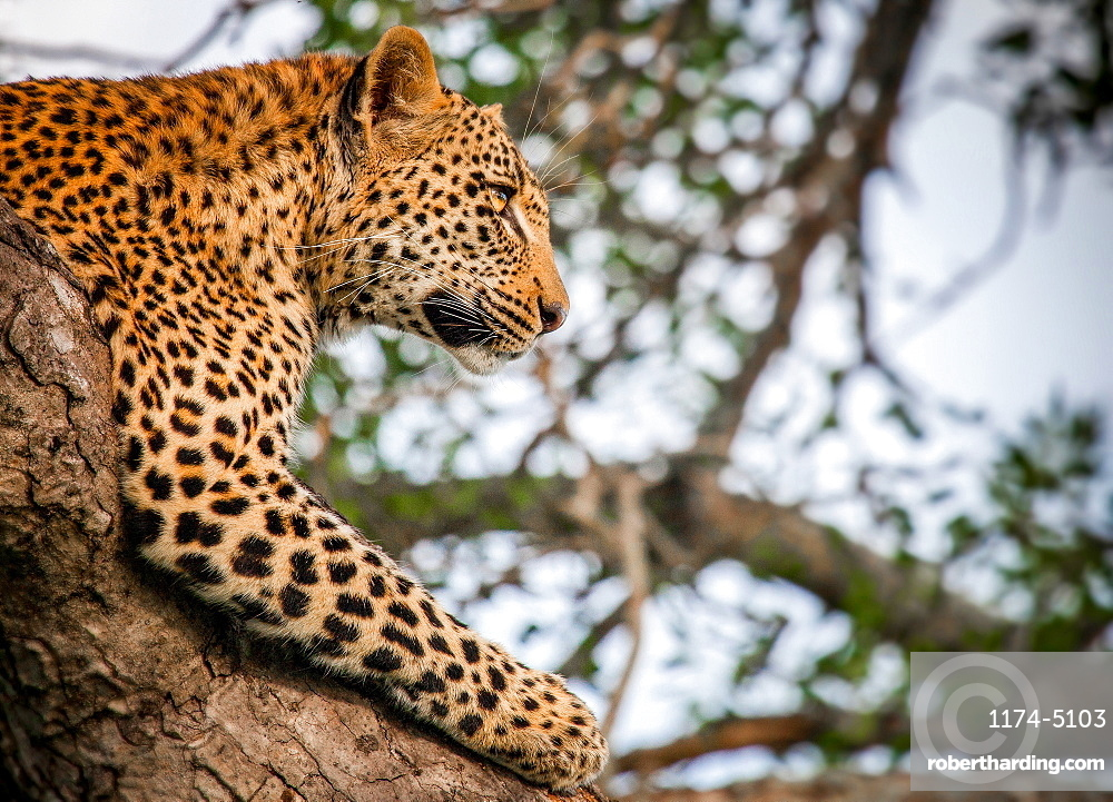 A leopard's head and front leg, Panthera pardus, lying in a tree, head up, looking away, Londolozi Game Reserve, Sabi Sands, Greater Kruger National Park, South Africa