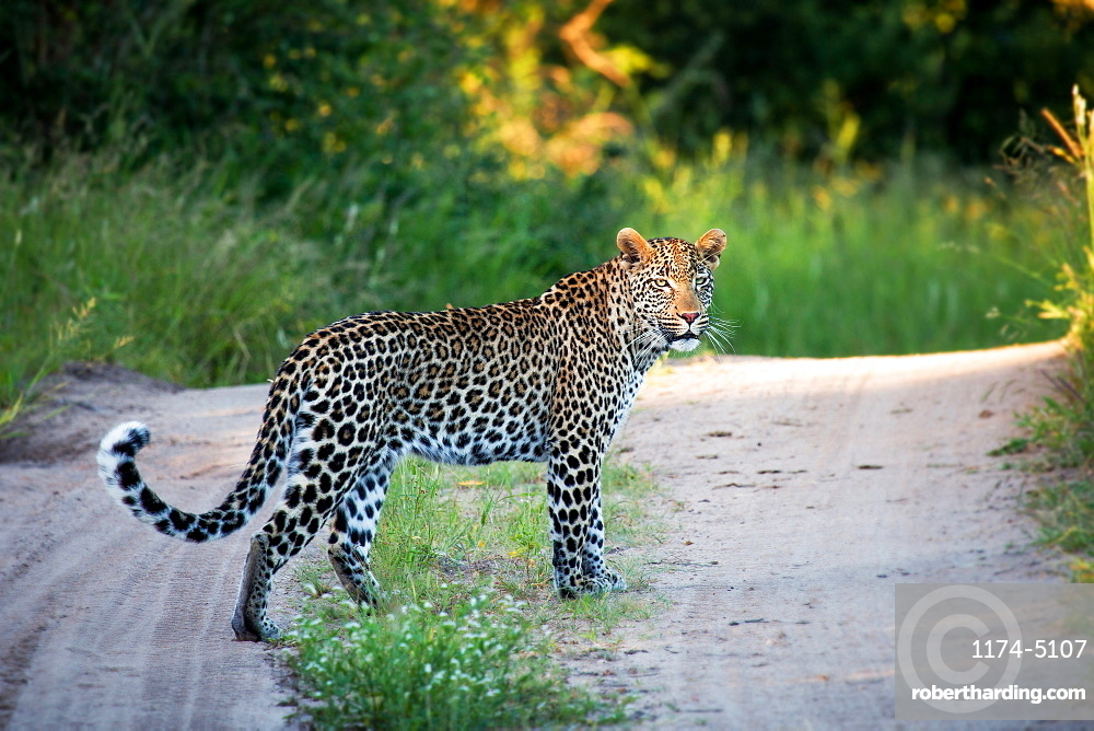 A leopard, Panthera pardus, stands on a sand road, alert, tail curled up, face in sunlight, greenery background, Londolozi Game Reserve, Sabi Sands, Greater Kruger National Park, South Africa