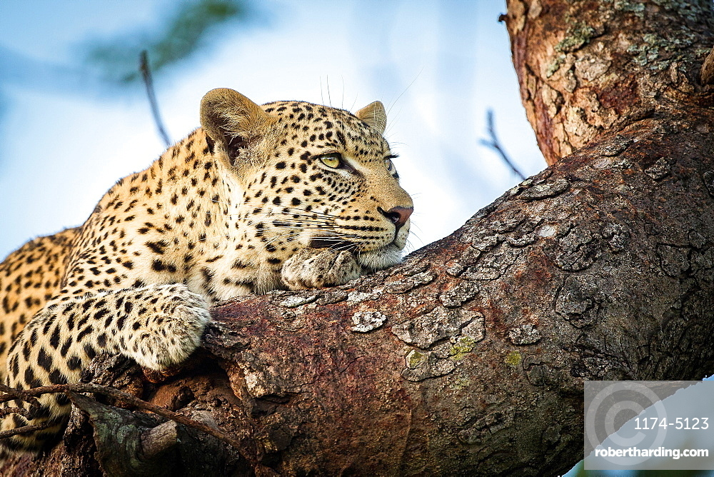 A leopard's head and front paws, Panthera pardus, lies on a tree branch, rests on front paw, looking away, Londolozi Game Reserve, Sabi Sands, Greater Kruger National Park, South Africa