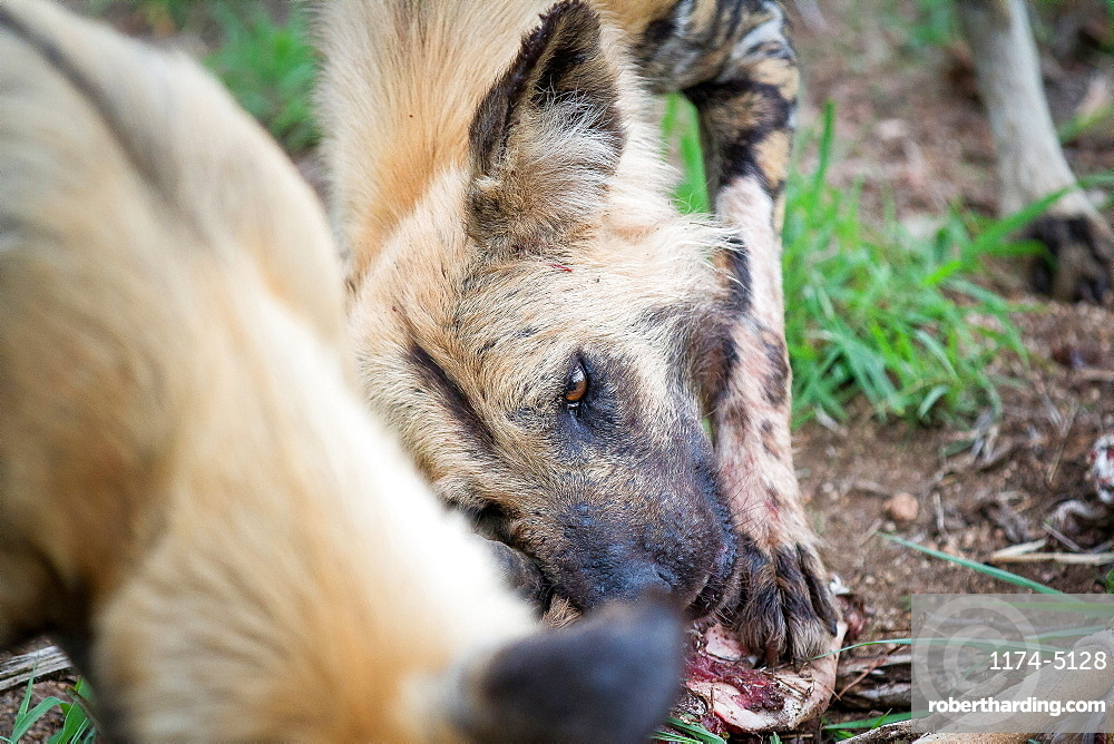 A wild dog's head, Lycaon pictus, lying on ground, chewing a bone, looking out of frame, Londolozi Game Reserve, Sabi Sands, Greater Kruger National Park, South Africa