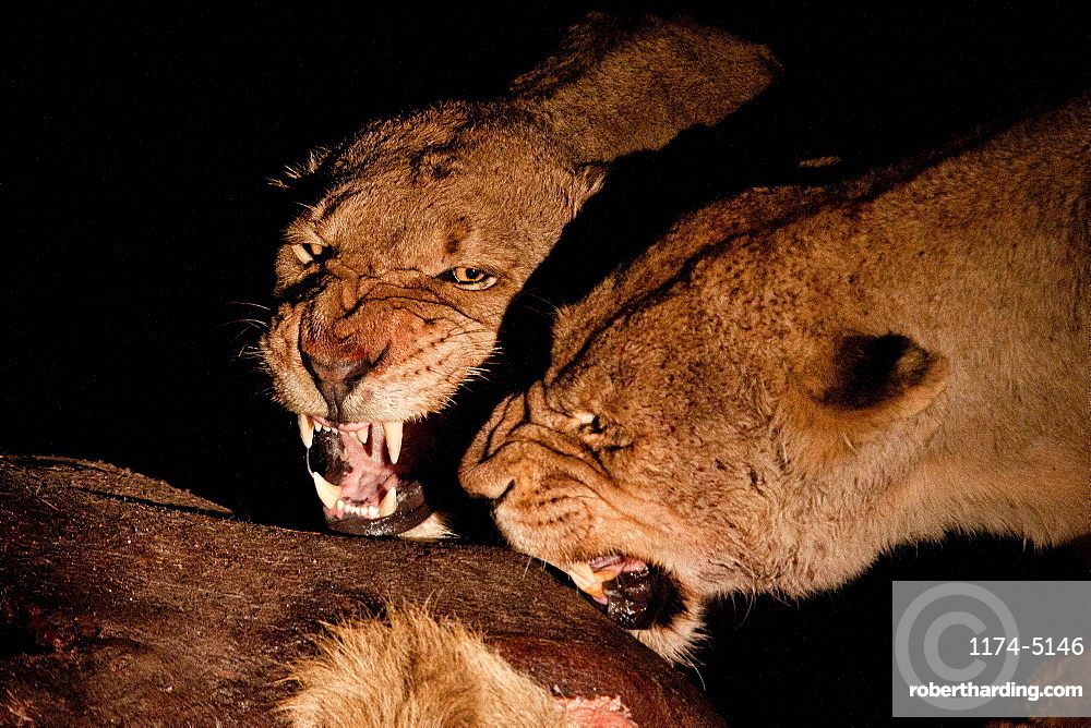 Two female lioness, Panthera leo, snarl at each other while standing over a carcass at night, Londolozi Game Reserve, Sabi Sands, Greater Kruger National Park, South Africa