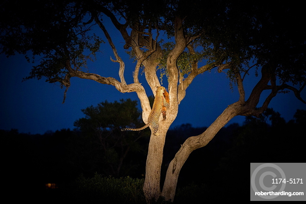 A leopard, Panthera pardus, climbing a tree while holding an impala in its mouth at night, Aepyceros melampus, Londolozi Game Reserve, Sabi Sands, Greater Kruger National Park, South Africa