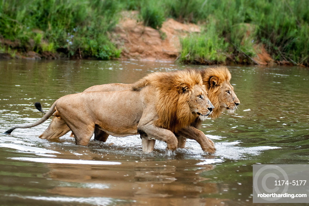 Two male lions, Panthera leo, walk across a shallow river simultaneously, looking away, Londolozi Game Reserve, Sabi Sands, Greater Kruger National Park, South Africa