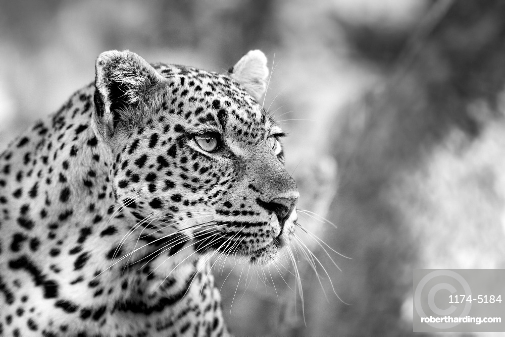 A leopard's head, Panthera pardus, looking away, black and white, Londolozi Game Reserve, Sabi Sands, Greater Kruger National Park, South Africa